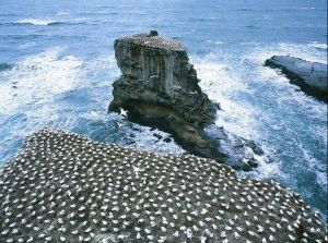 06Jun2015040608Gannet colony Muriwai Beach.JPG
